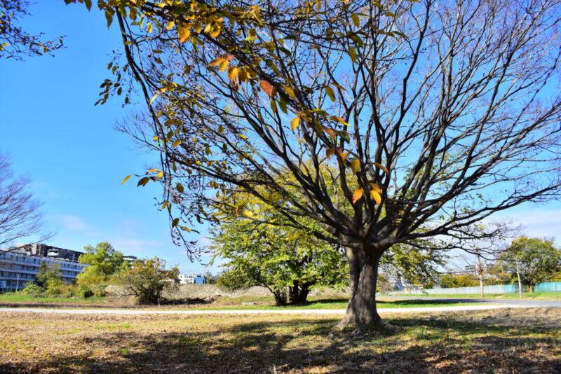 右岸調節池の木