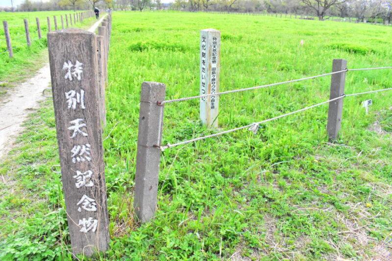 桜草公園のサクラソウ自生地