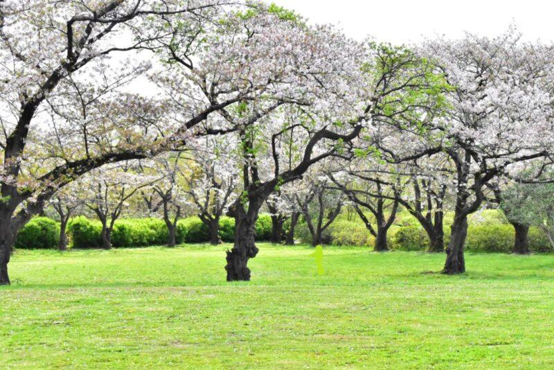 桜草公園原っぱ