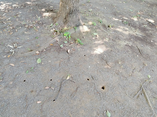 松芝公園セミの穴